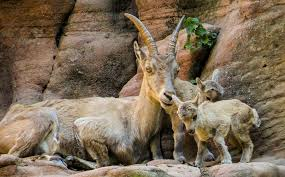Mountain Goat Baby